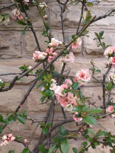 Quince in the Botanical Gardens